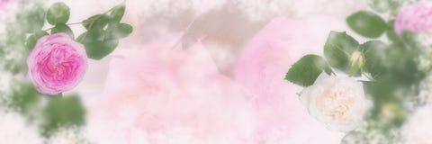 Rosa och beige rosblomningpanorama royaltyfri foto