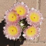 Rosa och gul kaktus för blomningParodia boll royaltyfria foton