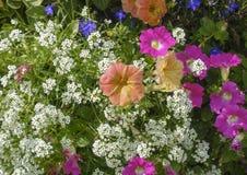 Rosa och orange petunior i en blommaträdgård arkivfoto