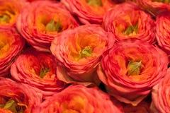 Rosa och orange ro Arkivbilder