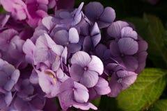 Rosa och purpurfärgad hortensiabuske arkivfoton