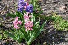 Rosa och purpurfärgade hyacinter Royaltyfria Bilder