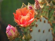 Rosa och purpurfärgade kronblad av kaktusblomman för taggigt päron royaltyfria bilder