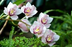Rosa och purpurfärgade orkidér Fotografering för Bildbyråer