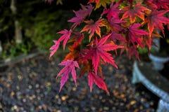 Rosa och purpurfärgat lönnträd royaltyfri bild