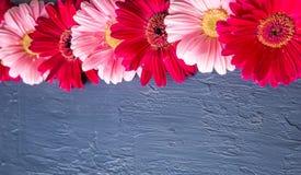 Rosa och röd gerberatusenskönablomma på konkreta bakgrunder Vår Arkivfoto