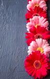 Rosa och röd gerberatusenskönablomma på konkreta bakgrunder Vår Royaltyfri Bild