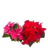 Rosa och röd julstjärnablomma- eller julstjärna stock illustrationer