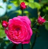 Rosa och röd ros med knoppar Royaltyfria Bilder