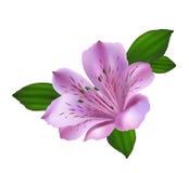 Rosa och violett alstromeriablommaillustration stock illustrationer