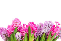 Rosa och violetta hyacinter Royaltyfria Bilder