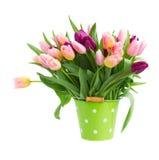 Rosa och violetta tulpan i kruka Fotografering för Bildbyråer