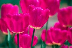 Rosa och violetta tulpanblommor arkivfoto