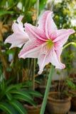 Rosa och vit amaryllisblomma. royaltyfria bilder