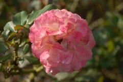 Rosa och vit blomma f?r ljus - arkivbilder