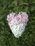 Rosa och vit hjärta formad vanlig hortensia arkivfoton