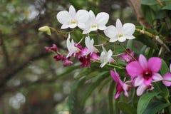 Rosa och vit orkidéblomma i trädgårds- bakgrund, rosa färger och vit Arkivbilder