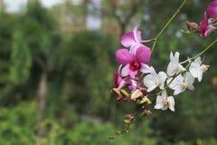 Rosa och vit orkidéblomma i trädgårds- bakgrund, rosa färger och vit Royaltyfria Bilder
