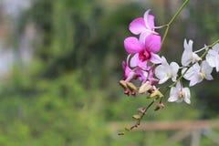 Rosa och vit orkidéblomma i trädgårds- bakgrund, rosa färger och vit Royaltyfri Foto