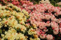 Rosa och vit rhododendron Arkivfoto