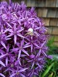 Rosa och vit spindel Arkivbild