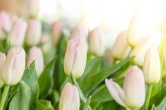 Rosa och vit tulpanblomma Royaltyfri Foto