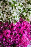 Rosa och vit vanlig hortensiablomma Vanlig hortensia - gemensamma namn Hydran Royaltyfri Fotografi