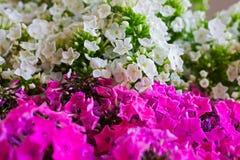 Rosa och vit vanlig hortensiablomma Vanlig hortensia - gemensamma namn Hydran Arkivfoton