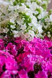 Rosa och vit vanlig hortensiablomma Vanlig hortensia - gemensamma namn Hydran Royaltyfria Bilder