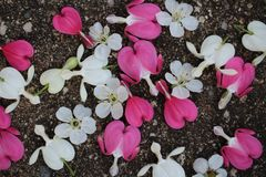 Rosa och vita blommor för blödande hjärta med körsbärsröda blomningar spridda på trottoar royaltyfri bild