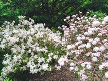 Rosa och vita blommor i en trädgård Arkivbild