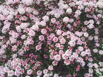 Rosa och vita blommor i en trädgård Royaltyfria Foton