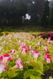 Rosa och vita blommor med en droppe av vatten i en blommaträdgård, på en färgrik bakgrund för blommaträdgård royaltyfri foto