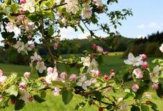 Rosa och vita blommor på ett träd framme av en äng- och skogvår i Tyskland arkivfoto