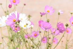 Rosa och vita Cosmo blommor Fotografering för Bildbyråer