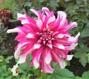 Rosa och vita Dahlia Blooming Royaltyfria Foton