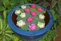 Rosa och vita Lotus i Thailand Royaltyfria Bilder