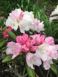 Rosa och vita rhododendronblommor Arkivfoto