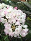 Rosa och vita rhododendronblommor Arkivbild