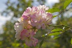 Rosa och vita ro Arkivfoto