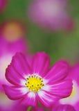 Rosa och vitt kosmos Arkivfoto