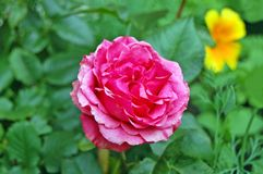 Rosa odorata Arkivfoton