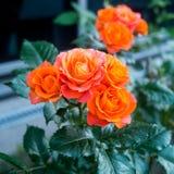 Rosa odorata Royalty-vrije Stock Afbeeldingen