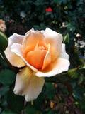 Rosa odorata stock photo