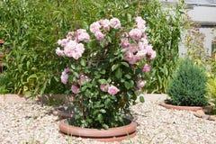 Rosa-Odoratarosabusch in einem Blumenbeet Fotoformat horizontal Lizenzfreies Stockfoto