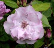 Rosa; ODYSSEY royaltyfri fotografi