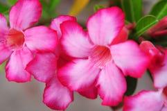 Rosa Oleander Stockbild