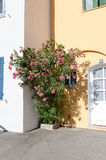 Rosa oleander Arkivbild