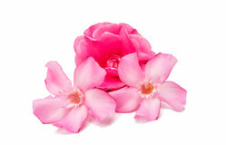 Rosa Oleander lizenzfreies stockfoto