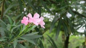 Rosa Oleander Stockfoto